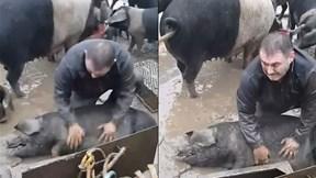 Anh nông dân vừa khóc vừa cố cứu lợn con bị đuối nước gây sốt cư dân mạng