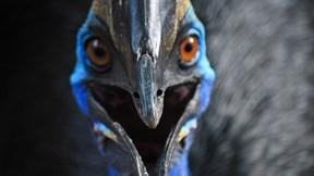 Loài chim khổng lồ cực nguy hiểm được ví là khủng long thời hiện đại
