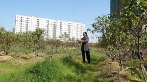 Vì sao hàng nghìn gốc đào tại Hà Nội bị vàng lá, chết khô trước Tết?