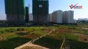 Vụ hàng nghìn gốc đào chết ở Hà Nội: Đền bù cho người dân như thế nào?