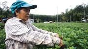 Nông dân Đà Nẵng thấp thỏm trồng hoa Tết