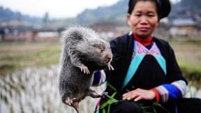 Thịt lợn khan hiếm, người Trung Quốc 'săn' chuột tre làm thức ăn