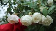 'Săn' hồng cổ 60 năm tuổi, giá 250 triệu chơi Tết Canh Tý