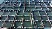 Những nhà bè nuôi cá tiền tỷ tất bật thu hoạch dịp Tết