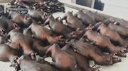 Bất chấp đại dịch corona, thịt dơi ở Indonesia vẫn 'cháy' hàng
