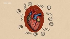 Sẽ ra sao nếu virus xâm nhập được vào tim?