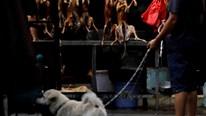Vì Covid-19, Trung Quốc tiến đến cấm ăn, buôn bán, tiêu thụ thịt chó