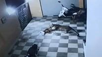 Bị báo hoang lao vào nhà tấn công, chó cưng thoát chết may mắn