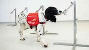 Huấn luyện chó tìm ra người nghi nhiễm Covid-19 được tiến hành như thế nào?