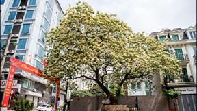 Cây Hoa Bún 300 năm tuổi giữa Hà Nội, nở 1 lần mỗi năm rồi như 'chết khô'