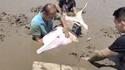 Cảnh sát giải cứu cá heo trắng bị mắc cạn
