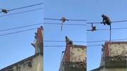 Khoảnh khắc khỉ mẹ cố gắng giải cứu khỉ con mắc kẹt trên dây điện