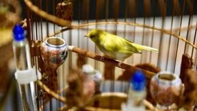 Đàn chim quý tộc trị giá 10 tỷ: Ở điều hòa, có 'bảo mẫu' chăm sóc