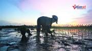 Tránh nắng 40 độ C, nông dân Hà Nội ra đồng cấy lúa từ 3 giờ sáng