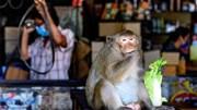Bị khỉ 'chiếm' thành phố, Thái Lan triệt sản hàng trăm 'quân xâm lược'