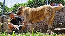 Đủ cách giải nhiệt chó cưng nặng 100kg, giá trăm triệu đồng/ con