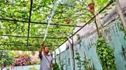 Trồng giàn nho 500 m2 trước sân nhà ở Sài Gòn, thu hàng trăm triệu mỗi năm