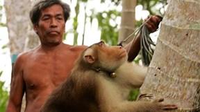 Huy động khỉ đi hái dừa, Thái Lan hứng chịu chỉ trích
