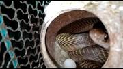 Kịch tính màn giải cứu đàn chim khỏi lồng bị rắn hổ mang xâm nhập