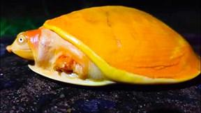 Phát hiện rùa vàng cực hiếm ở Ấn Độ