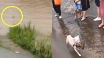 Chó mẹ lao nhanh xuống dòng lũ chảy xiết cứu con