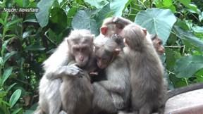 Khoảnh khắc đàn khỉ ôm nhau giữ ấm cho khỉ con trong cơn mưa