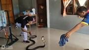 Đang ru con ngủ, mẹ trẻ hoảng hốt thấy rắn hổ mang đen sì chui vào nhà