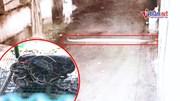 Trăn 'khủng' chui từ cống vào nhà dân ở TP.HCM