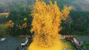 Thu về, ngắm những cây ngân hạnh nghìn năm tuổi đẹp nhất thế giới