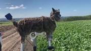 Xem sói máy giúp nông dân Nhật Bản xua đuổi gấu phá hoại mùa màng