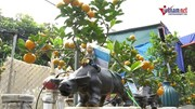 Trâu 'cõng' quất bonsai bạc triệu, trồng ngàn cây vẫn không đủ bán