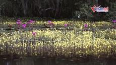 Lạc bước quên lối về trên dòng sông hoa vàng ở Đồng Tháp