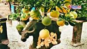 Bưởi trồng trên lưng trâu gốm, cây cảnh độc nhất vô nhị chơi tết Tân Sửu