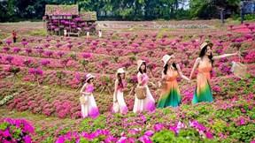 Đồi ngọc thảo hồng 150 nghìn cây nở rộ, độc nhất ở Hà Nội
