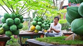 Đu đủ bonsai giá đến vài chục triệu: Dáng siêu độc, quả chi chít khắp cành