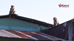 Đàn khỉ tung hoành ở khu dân cư Sài Gòn, vào nhà trộm trái cây, phá đồ đạc