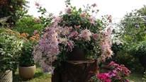 Lạc lối trong vườn cúc cổ đẹp mê mẩn giữa Hà Thành