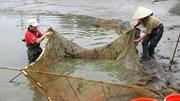 Nông dân làng cá chép đỏ Thủy Trầm đứng ngồi không yên vì Covid-19