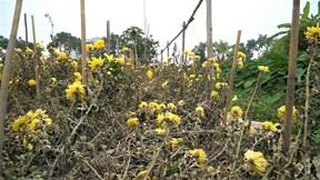 Hoa cúc chết khô trên đồng không ai thu hoạch, nông dân lỗ nặng
