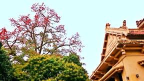Hà Nội đẹp lạ mùa hoa gạo, sắc đỏ xua tan rét nàng Bân