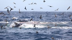Bơi vào lãnh địa cấm, cá voi xanh khổng lồ bị đàn cá voi sát thủ xé xác
