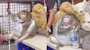Khỉ béo như quả bóng khiến cả chợ cưng chiều, vuốt ve và cho ăn