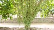 """Sốt xình xịch vườn dâu xanh """"siêu lùn"""" quả sai từ gốc tới ngọn ở Sa Đéc"""