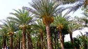 Mê mẩn vườn chà là trĩu quả 4000 m2 lớn nhất miền Tây