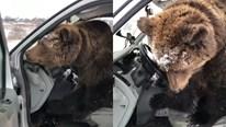 Lần đầu được ngồi ghế lái, chú gấu khoái chí bấm còi liên tục