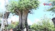 Chiêm ngưỡng cây me khủng trên 200 tuổi đạt kỷ lục Việt Nam