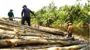 Nghề vác tràm mưu sinh muôn phần cực nhọc ở Cà Mau