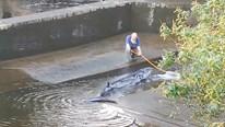 Giải cứu cá voi đi lạc mắc kẹt ở sông Thames, Anh