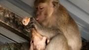 Hài hước cảnh khỉ bắt gà lên nóc nhà rồi ngồi vuốt ve như con mình