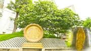 Chiêm ngưỡng 'lão mai' hơn 100 tuổi, đường kính tán 7 m đạt kỷ lục Việt Nam
